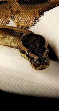 Black Head Pythons & Womas